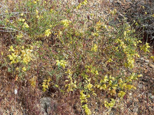Freckled Milkvetch (Astragalus Lentiginosus) https://www.sagebud.com/freckled-milkvetch-astragalus-lentiginosus