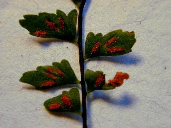 Macrae's Spleenwort (Asplenium Macraei) https://www.sagebud.com/macraes-spleenwort-asplenium-macraei