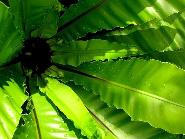 Hawai'I Birdnest Fern (Asplenium Nidus) https://www.sagebud.com/hawaii-birdnest-fern-asplenium-nidus/