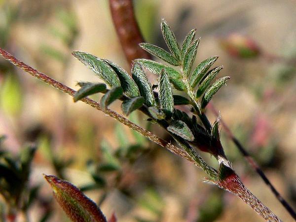 Smallflowered Milkvetch (Astragalus Nuttallianus) https://www.sagebud.com/smallflowered-milkvetch-astragalus-nuttallianus/