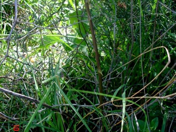 Garden Asparagus (Asparagus Officinalis) https://www.sagebud.com/garden-asparagus-asparagus-officinalis