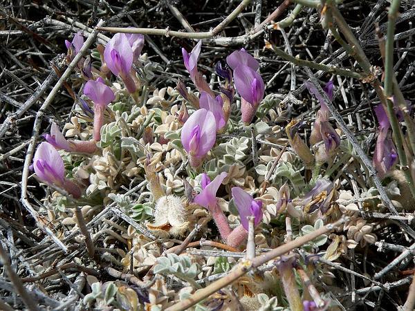 Ash Meadows Milkvetch (Astragalus Phoenix) https://www.sagebud.com/ash-meadows-milkvetch-astragalus-phoenix