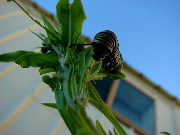 Balloonplant (Asclepias Physocarpa) https://www.sagebud.com/balloonplant-asclepias-physocarpa