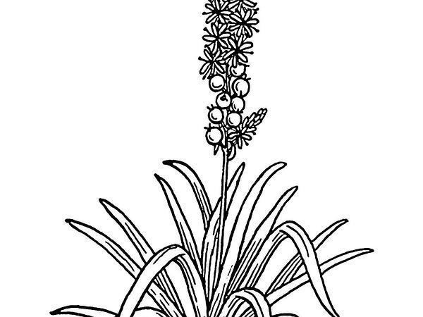 Asphodelus (Asphodelus) https://www.sagebud.com/asphodelus-asphodelus