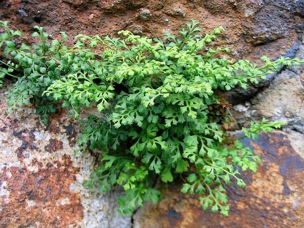 Spleenwort (Asplenium) https://www.sagebud.com/spleenwort-asplenium