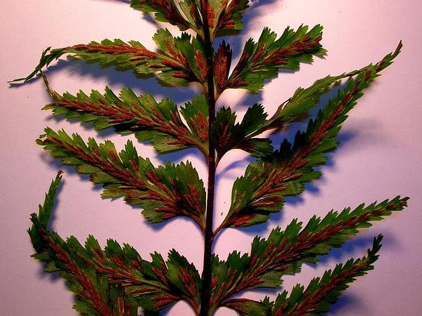 Sickle Speenwort (Asplenium Polyodon) https://www.sagebud.com/sickle-speenwort-asplenium-polyodon