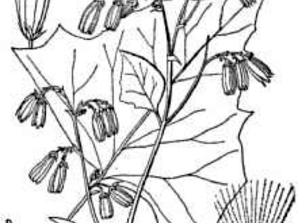 German-Madwort (Asperugo Procumbens) https://www.sagebud.com/german-madwort-asperugo-procumbens