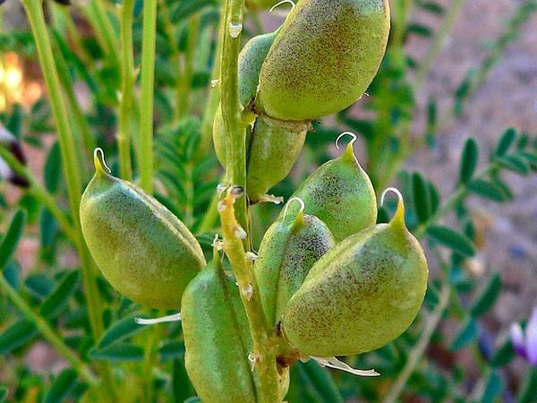 Preuss' Milkvetch (Astragalus Preussii) https://www.sagebud.com/preuss-milkvetch-astragalus-preussii/