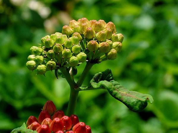 Purple Milkweed (Asclepias Purpurascens) https://www.sagebud.com/purple-milkweed-asclepias-purpurascens