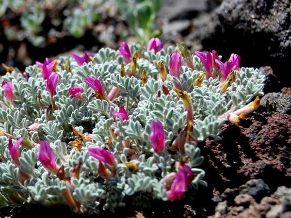 Woollypod Milkvetch (Astragalus Purshii) https://www.sagebud.com/woollypod-milkvetch-astragalus-purshii