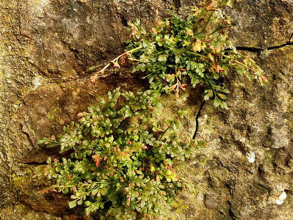 Wallrue (Asplenium Ruta-Muraria) https://www.sagebud.com/wallrue-asplenium-ruta-muraria