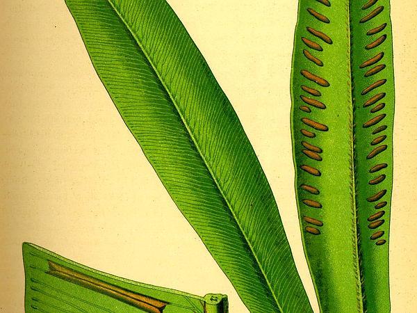 Hart's Tonguefern (Asplenium Scolopendrium) https://www.sagebud.com/harts-tonguefern-asplenium-scolopendrium