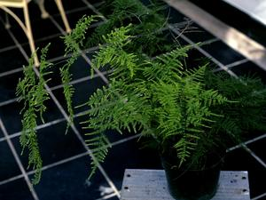 Common Asparagus Fern