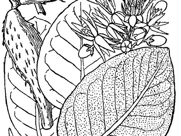 Showy Milkweed (Asclepias Speciosa) https://www.sagebud.com/showy-milkweed-asclepias-speciosa