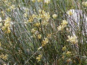 Rush Milkweed