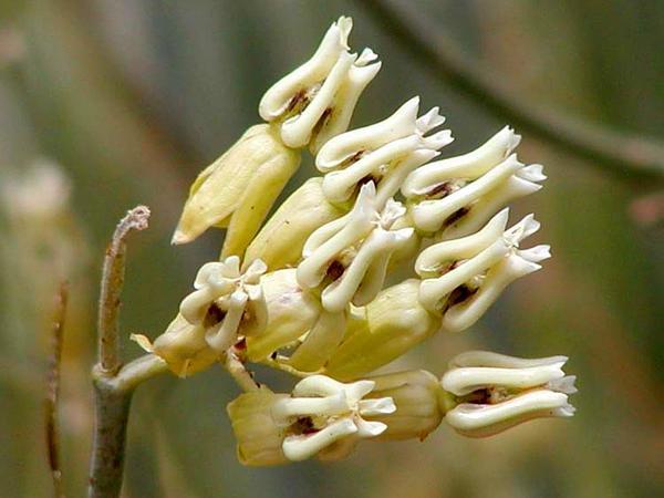 Rush Milkweed (Asclepias Subulata) https://www.sagebud.com/rush-milkweed-asclepias-subulata