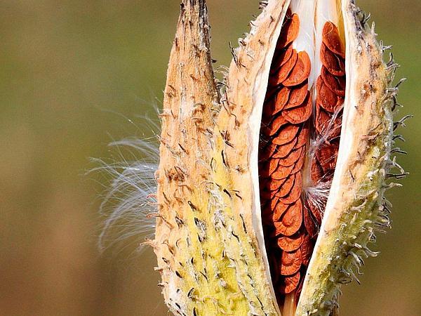 Common Milkweed (Asclepias Syriaca) https://www.sagebud.com/common-milkweed-asclepias-syriaca