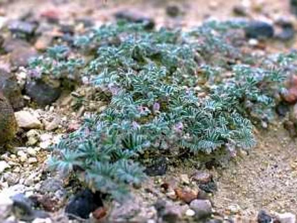 Tiehm's Milkvetch (Astragalus Tiehmii) https://www.sagebud.com/tiehms-milkvetch-astragalus-tiehmii