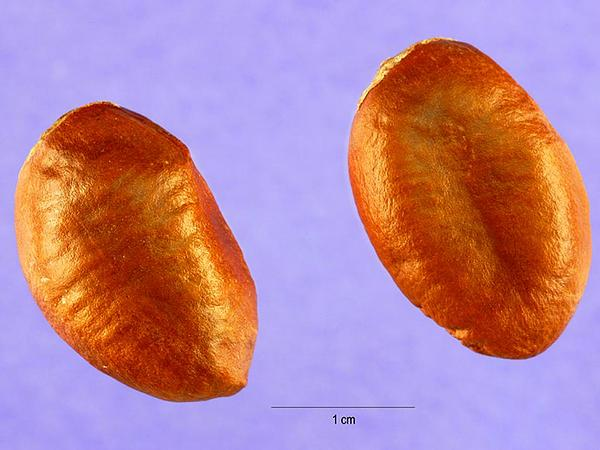 Pawpaw (Asimina Triloba) https://www.sagebud.com/pawpaw-asimina-triloba/