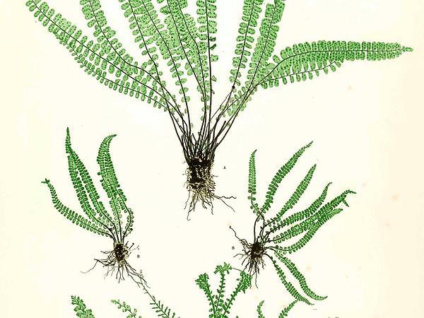 Maidenhair Spleenwort (Asplenium Trichomanes) https://www.sagebud.com/maidenhair-spleenwort-asplenium-trichomanes