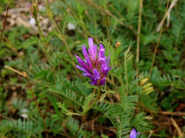 Milkvetch (Astragalus) https://www.sagebud.com/milkvetch-astragalus