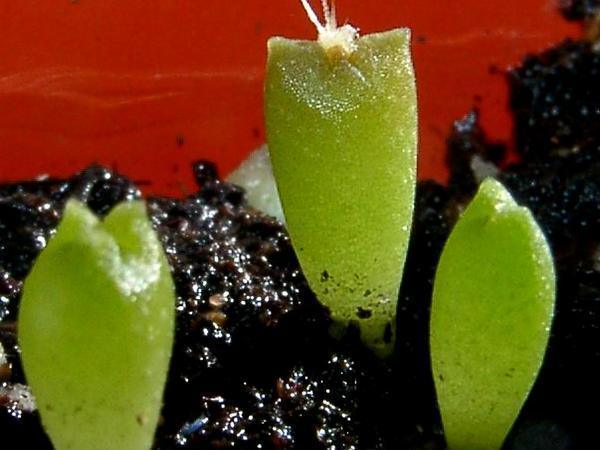 Astrophytum (Astrophytum) https://www.sagebud.com/astrophytum-astrophytum