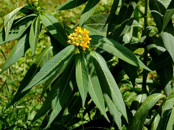Butterfly Milkweed (Asclepias Tuberosa) https://www.sagebud.com/butterfly-milkweed-asclepias-tuberosa