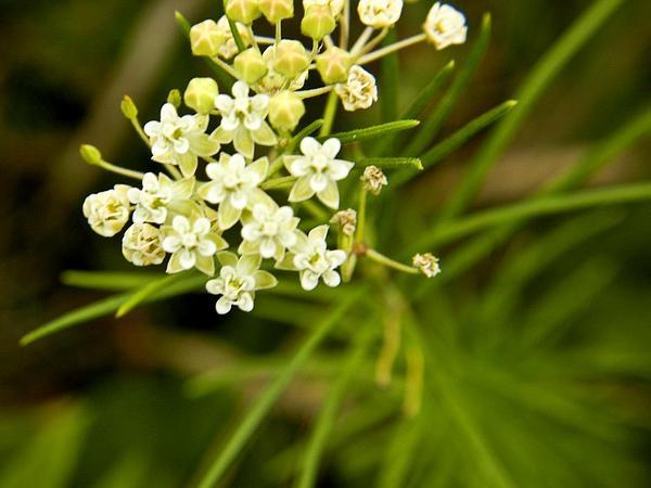 Whorled Milkweed (Asclepias Verticillata) https://www.sagebud.com/whorled-milkweed-asclepias-verticillata/