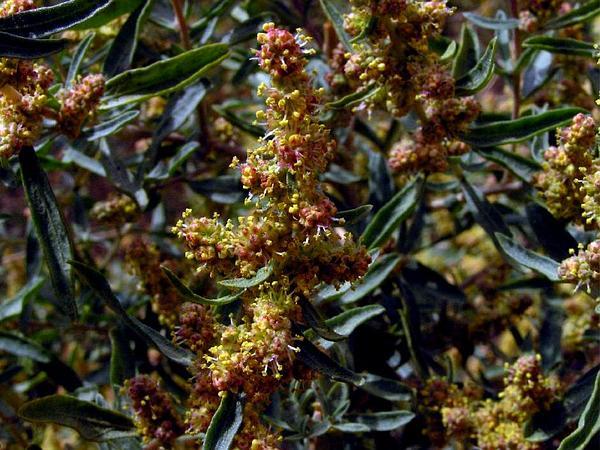 Fourwing Saltbush (Atriplex Canescens) https://www.sagebud.com/fourwing-saltbush-atriplex-canescens