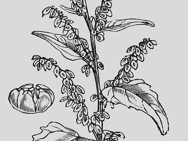Garden Orache (Atriplex Hortensis) https://www.sagebud.com/garden-orache-atriplex-hortensis
