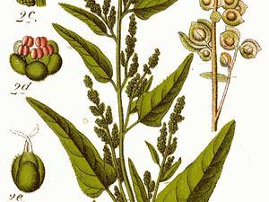 Garden Orache