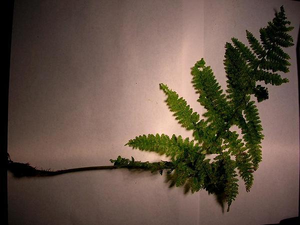 Akolea (Athyrium Microphyllum) https://www.sagebud.com/akolea-athyrium-microphyllum