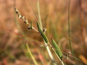 Spear Saltbush