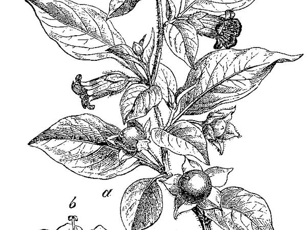 Belladonna (Atropa) https://www.sagebud.com/belladonna-atropa