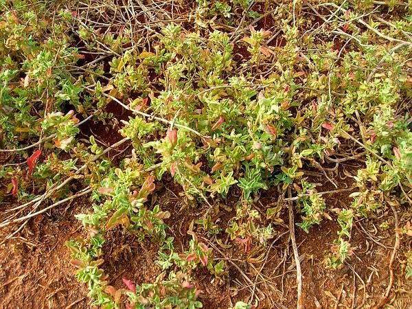 Australian Saltbush (Atriplex Semibaccata) https://www.sagebud.com/australian-saltbush-atriplex-semibaccata