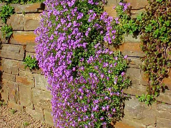 Lilacbush (Aubrieta) https://www.sagebud.com/lilacbush-aubrieta