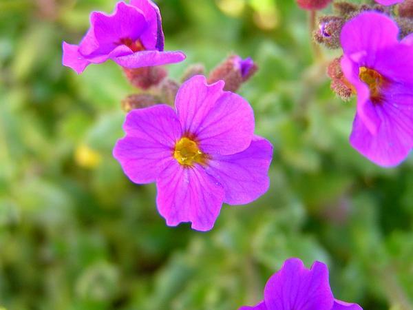 Lilacbush (Aubrieta Deltoidea) https://www.sagebud.com/lilacbush-aubrieta-deltoidea