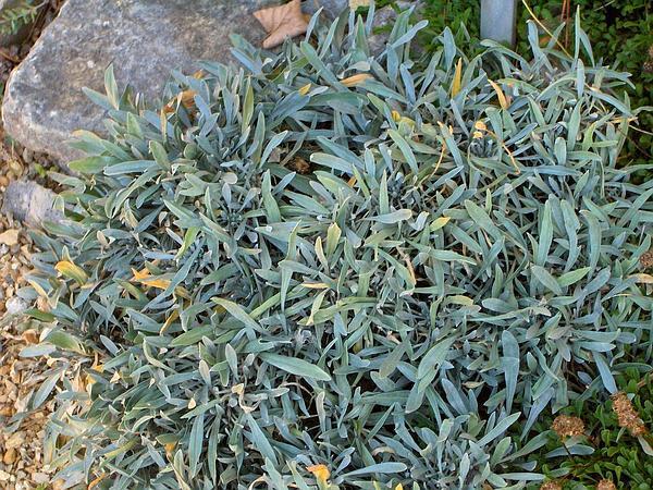 Aurinia (Aurinia) https://www.sagebud.com/aurinia-aurinia