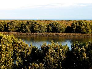Gray Mangrove