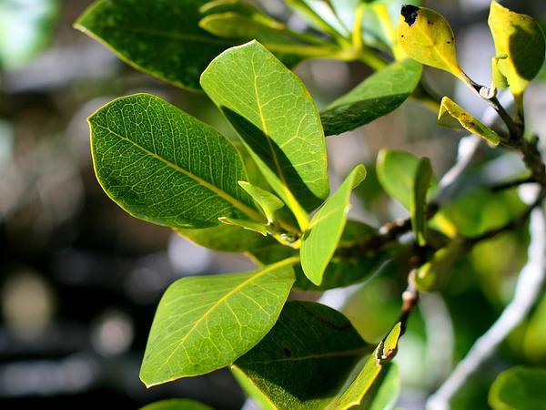 Gray Mangrove (Avicennia Marina) https://www.sagebud.com/gray-mangrove-avicennia-marina