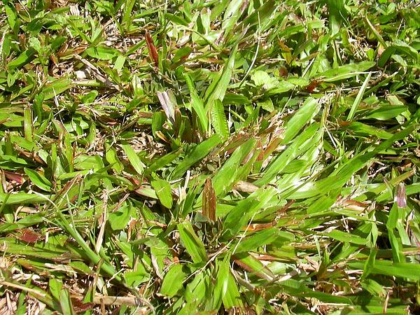 Broadleaf Carpetgrass (Axonopus Compressus) https://www.sagebud.com/broadleaf-carpetgrass-axonopus-compressus