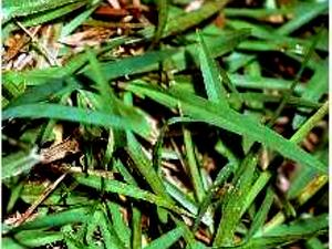 Common Carpetgrass