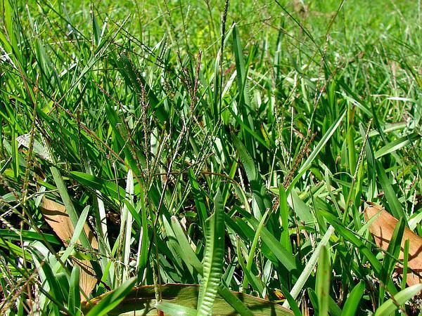 Common Carpetgrass (Axonopus Fissifolius) https://www.sagebud.com/common-carpetgrass-axonopus-fissifolius