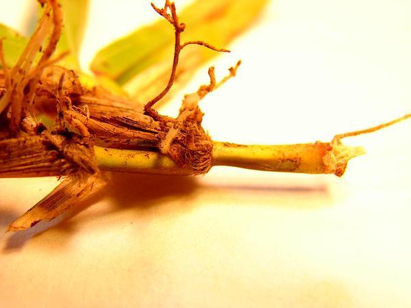 Carpetgrass (Axonopus) https://www.sagebud.com/carpetgrass-axonopus