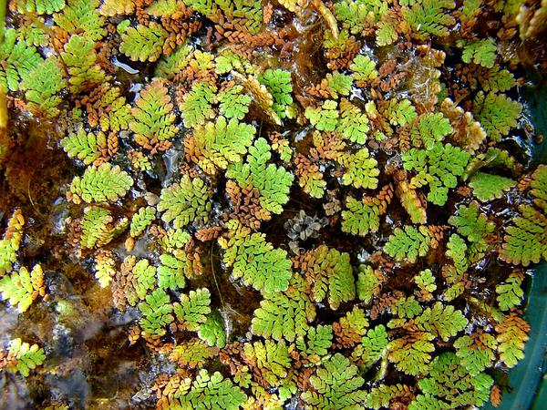 Pacific Mosquitofern (Azolla Filiculoides) https://www.sagebud.com/pacific-mosquitofern-azolla-filiculoides