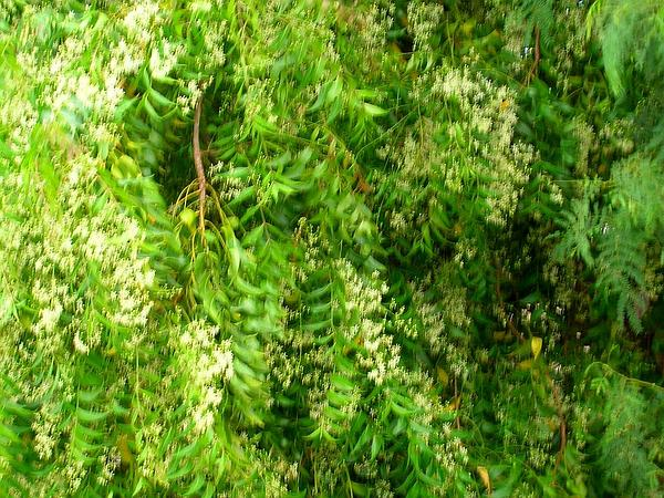 Neem (Azadirachta Indica) https://www.sagebud.com/neem-azadirachta-indica