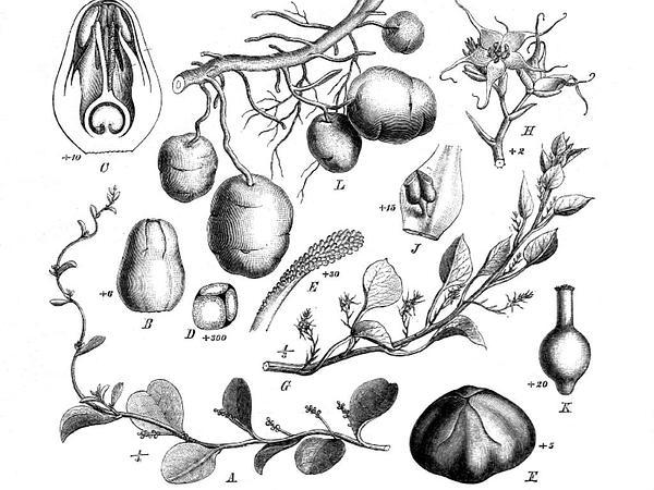 Ceylon Spinach (Basella Alba) https://www.sagebud.com/ceylon-spinach-basella-alba