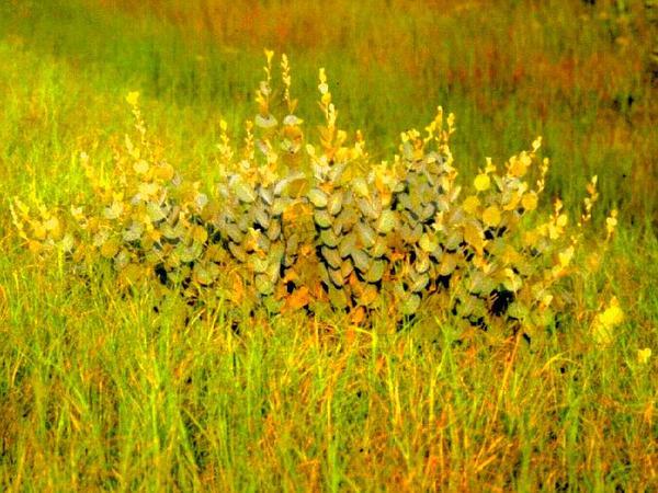 Cobwebby Wild Indigo (Baptisia Arachnifera) https://www.sagebud.com/cobwebby-wild-indigo-baptisia-arachnifera