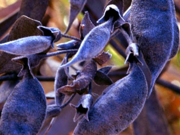 Longbract Wild Indigo (Baptisia Bracteata) https://www.sagebud.com/longbract-wild-indigo-baptisia-bracteata
