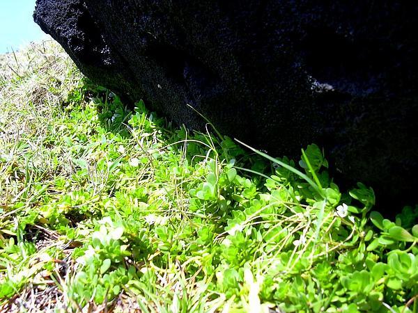 Waterhyssop (Bacopa) https://www.sagebud.com/waterhyssop-bacopa